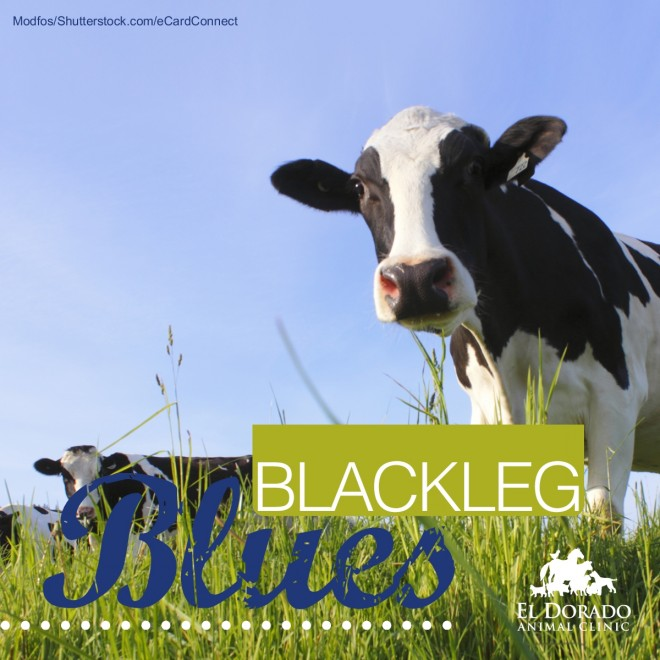 Blackleg